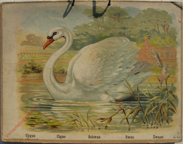 760 - Cygne, Cogno, Schwan, Swan, Zwaan